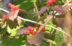 Tuluksak unknown berries