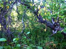 Tuluksak Branches