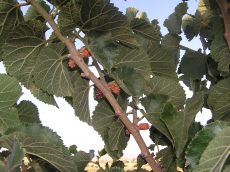 Branch of toot berry tree
