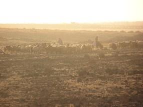 Bedouin Shepherd in sunset haze