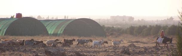 Bedouin shepherd without sun haze