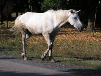 This only looks like an ordinary white horse. Really he's a unicorn that had his horn cut off and his feet chained. Someday he shall be free, though.
