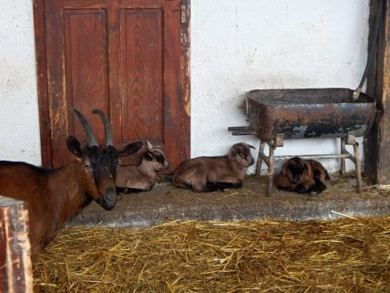 Goats at Decani