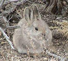 Pigmy Rabbit